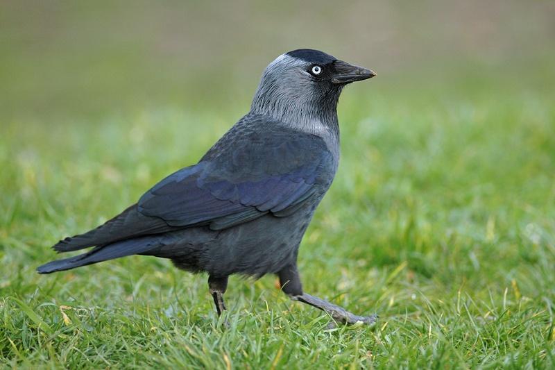Vogel Dole